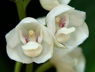 Resultado de imagem para orquídea Peristeria