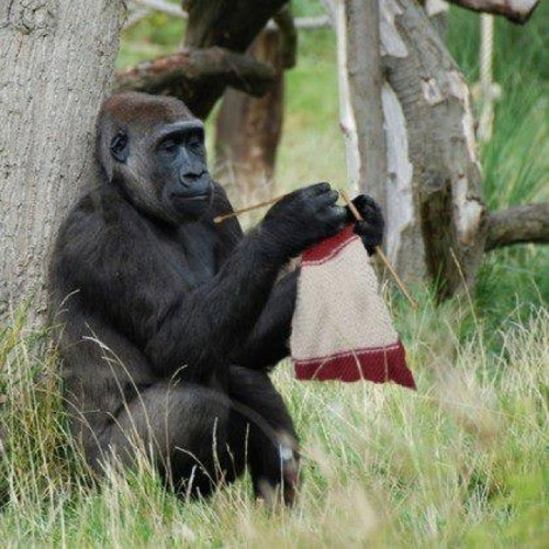 Clever Gorilla Learns How To Knit