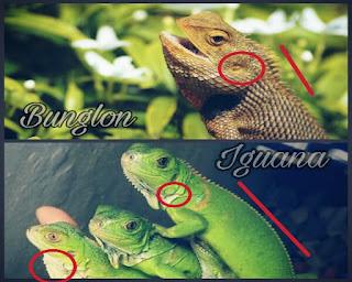 perbedaan iguana dan bunglon