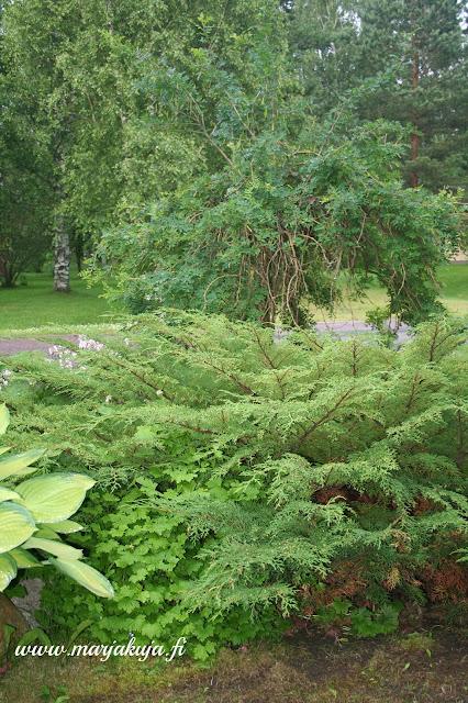 riippahernepuu vihreena
