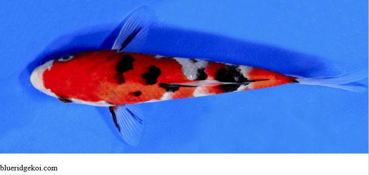 Gambar  Ikan Koi Sanke Taisho