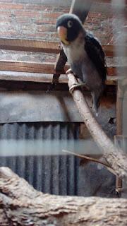 penyebab lovebird mengalami paruh gajah dan cara mengatasinya
