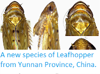 https://sciencythoughts.blogspot.com/2015/04/a-new-species-of-leafhopper-from-yunnan.html