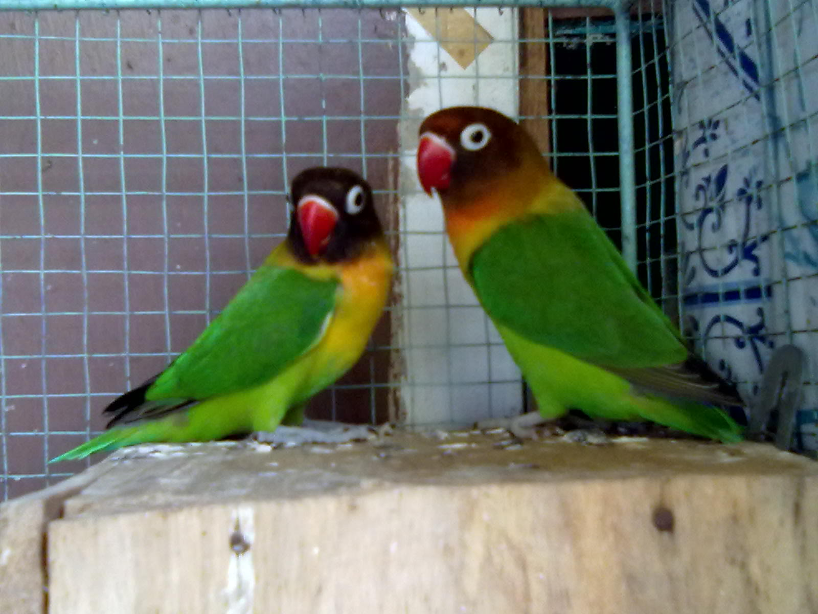 jual beli anakan lovebird murah surabaya jual beli anakan lovebird ...