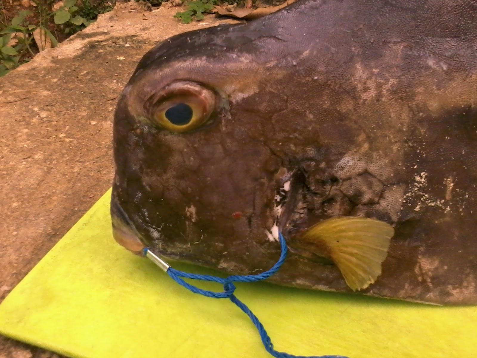 pesca de pez Torito, Pez Toro o caja de muerto.
