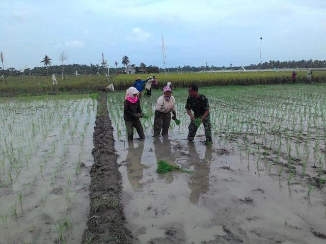 Babinsa Koramil 05/Tanjung Tiram Dampingi Petani Menanam Padi di Desa Sei Bejangkar