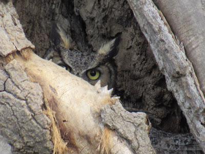 owls in a tree northern california sightings