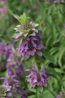 Monarda x hybrida 'Lambada' - Monarde horticole Hybride