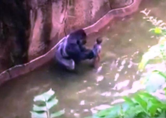 Cincinnati Zoo kills gorilla to protect small child who fell into enclosure
