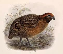 Black eared Wood-quail