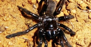 World Oldest Spider Dies In Australia..Guess is age?