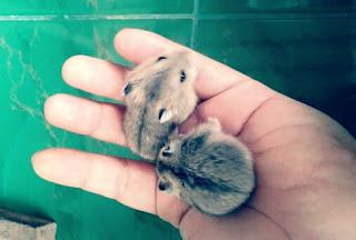 Cara Merawat Bayi Hamster Lengkap