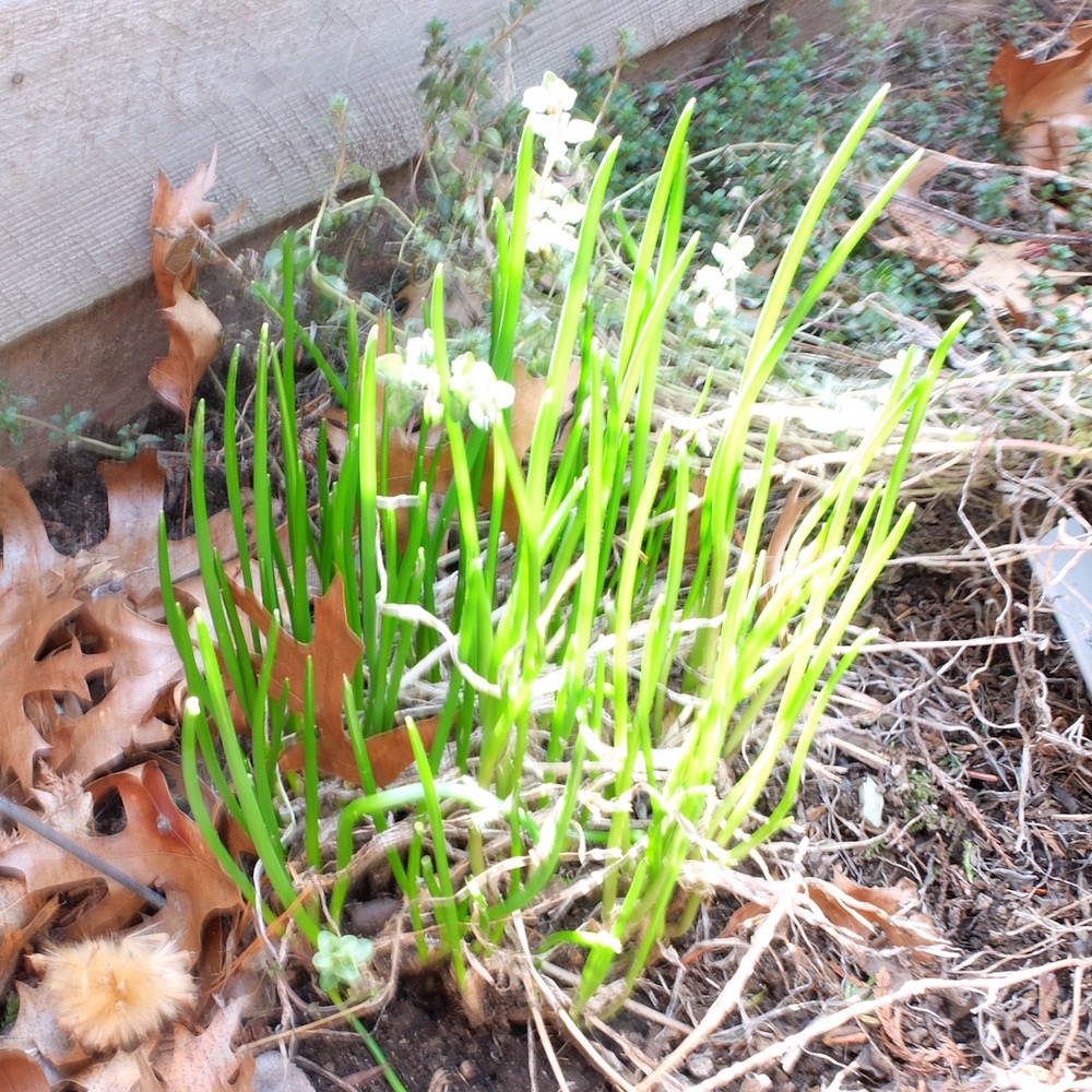 Common chives sprouting early spring.