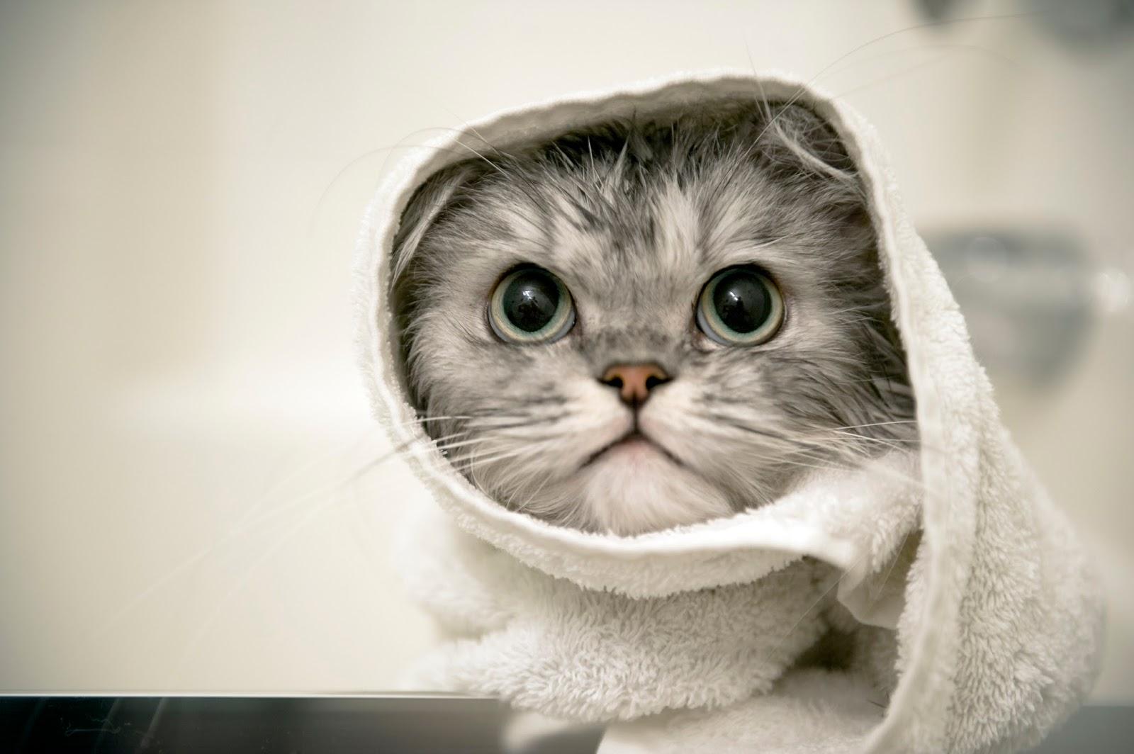 Download 93+  Gambar Kucing Anggora Di Rumah Terbaik HD