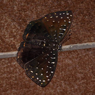 Butterfly with White Speckled Wings
