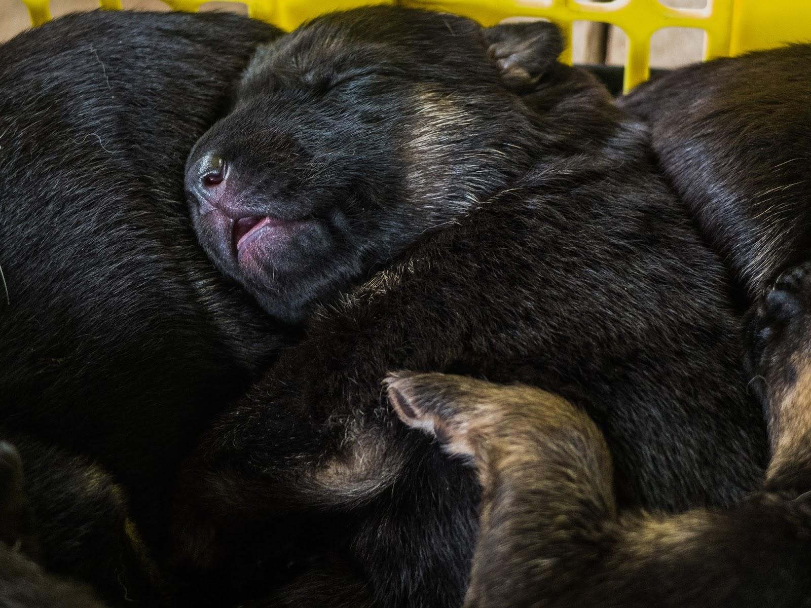 A week old German Shepherd puppy sleeping.