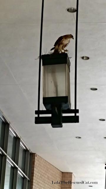 a hawk in brooklyn