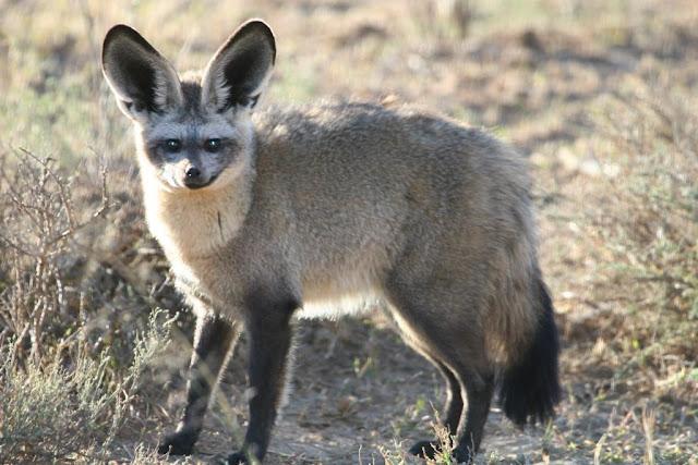 Bar Earned Fox