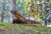 Komodo di Kebun Binatang Ragunan