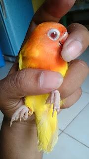ciri-ciri lovebird lutino mata merah