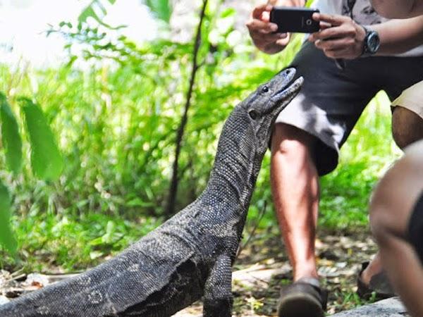 Biawak di Pulau Biawak Indramayu