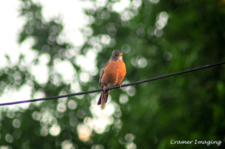 Cramer Imaging's professional nature animal photograph of robin bird sitting on power line with tree background in Pocatello, Bannock, Idaho