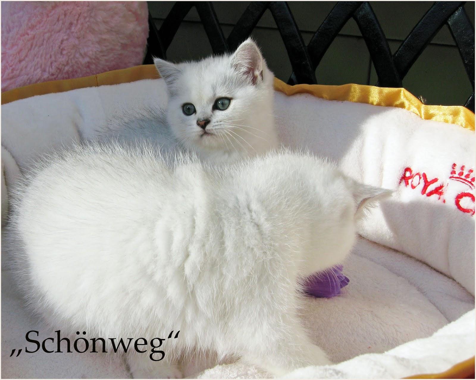Schoenweg Chinchilla Cats Cattery