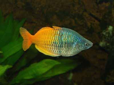 The Life Of Animals Boeseman The Rainbowfish