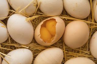 kuning telur ganda atau dobel dalam 1 telur