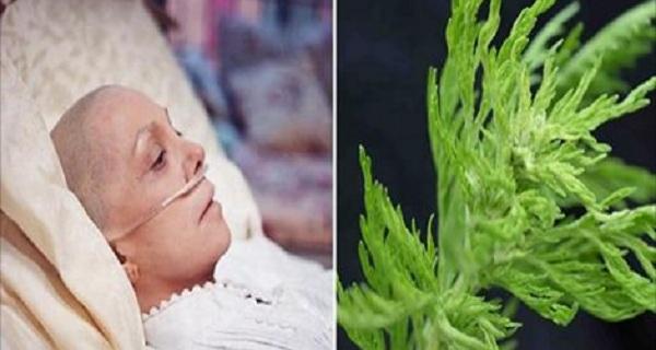 Tanaman Yang Mampu Menghancurkan Sel Kanker Payudara