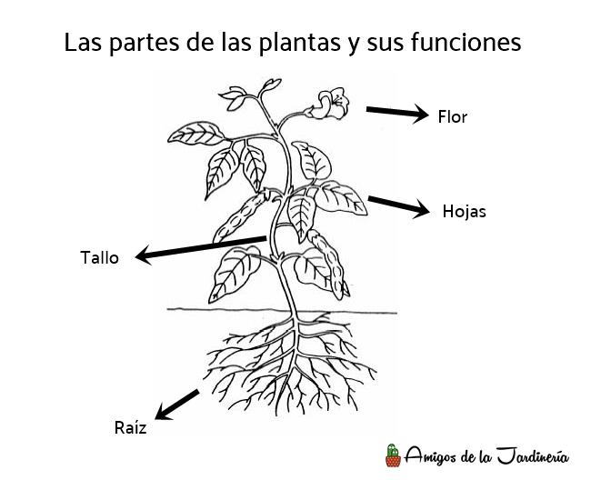 Partes de las plantas y sus funciones - Amigos de la Jardinería