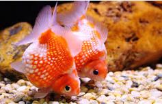 Cara Merawat Ikan Hias