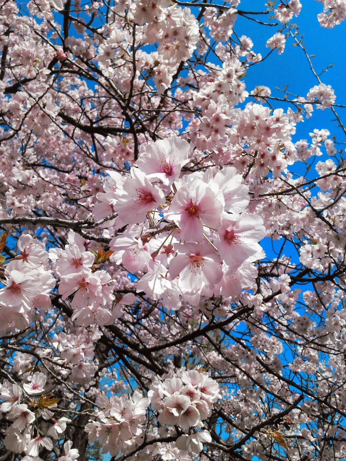 桜満開です。晴天。Tokyo Sakura @ Hanegi-Park Ume-gaoka