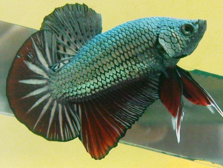 """Ikan Cupang Jenis Plakat"""