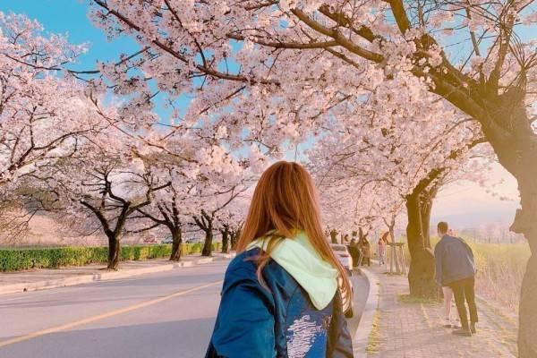 5 Lokasi di Korea Selatan Ini Menyuguhkan Pesona Sakura Seindah Jepang