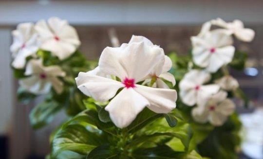 نباتات مُهندسة وراثيًّا لإنتاج أدوية جديدة