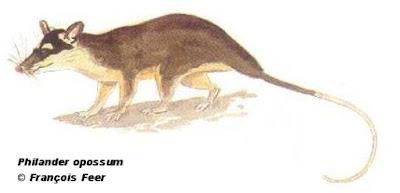 Philander opposum
