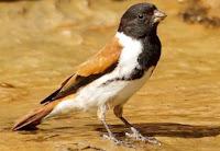 Asal Muasal Burung kenari