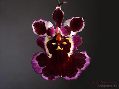 Orquídea Tolumnia híbrida