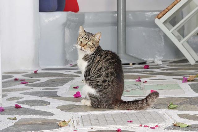 les chats des cyclades sont presents partout