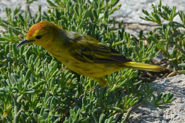 South Plaza Island yellow finch