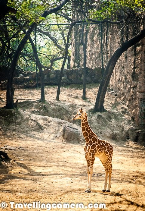 Little giraffe at Delhi Zoo.