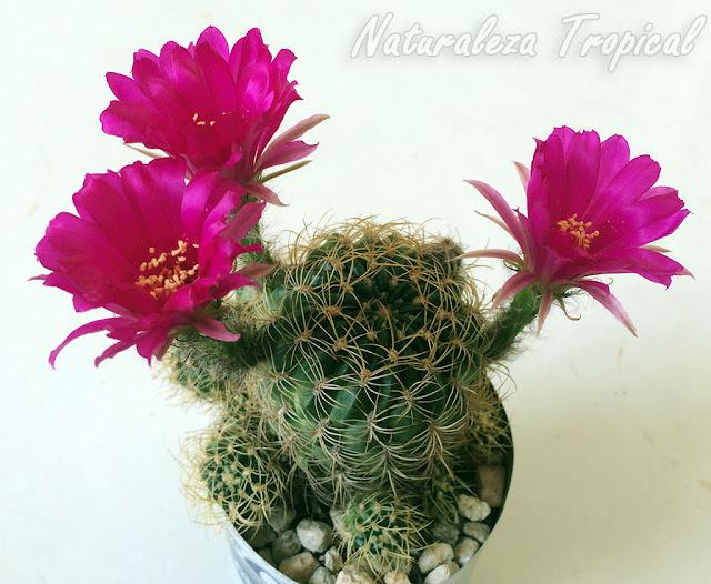 Variedad con flores moradas del cactus Echinopsis ancistrophora