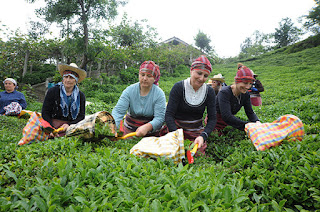tea gardens from Turkey