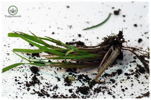 Gartenblog Topfgartenwelt Wird das was oder kann das weg? - Quecke - Plage im Blumenbeet