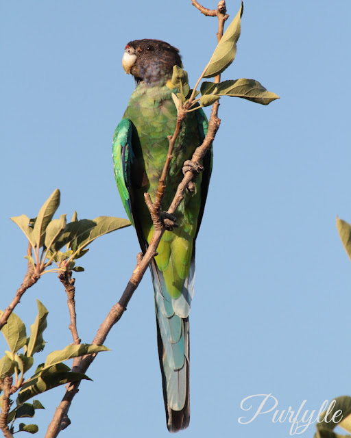 Twenty-eight Ring Neck Parrot