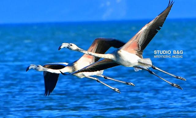 Το Ναύπλιο αγαπημένος προορισμός για ξεκούραση των Φλαμίνγκο