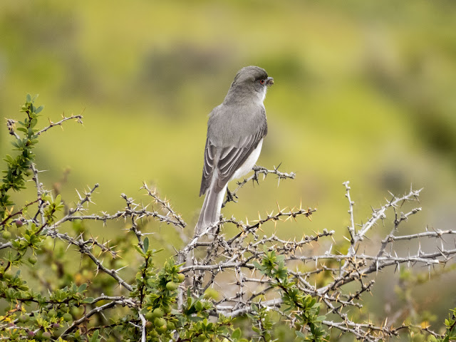 Birds of Patagonia: Fire-eyed Diucon