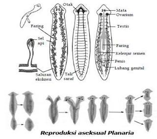 Kingdom Animalia - Material filum platyhelminthes