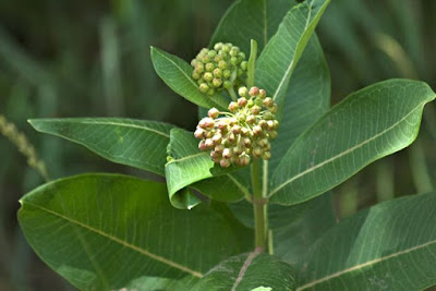 common milkweed flower head